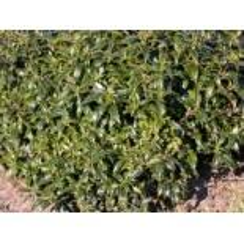 Stechpalme 'Heckenzwerg' , 8-12 cm, Ilex aquifolium 'Heckenzwerg' , Topfware