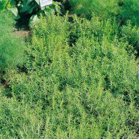 Staudenbohnenkraut 'Bolero' 2 Pflanzen