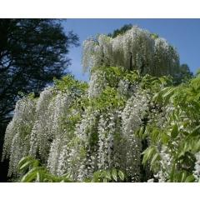 Japanische Wisteria Alba (Glycine Japonaise Alba)