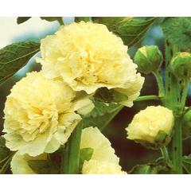 Stockrose Gelb (Alcea rosea)
