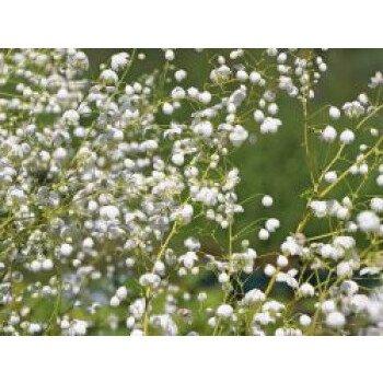 Wiesenraute 'Splendide White', Thalictrum...