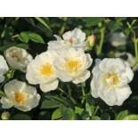 Bodendecker-Rose 'Bienenweide Weiß', Rosa 'Bienenweide Weiß', Wurzelware