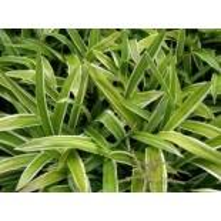 Bunte Breitblatt Segge 'Variegata', Carex siderosticha 'Variegata', Topfware