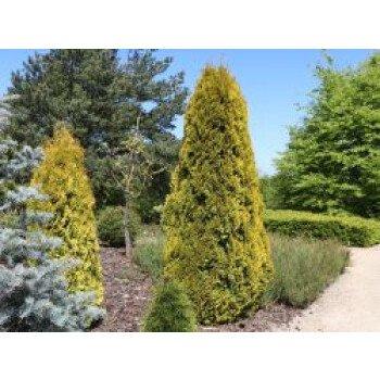 Lebensbaum 'Golden Smaragd' , 40-60 cm, Thuja occidentalis 'Golden Smaragd'