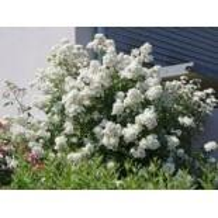 Wildrose Vielblütige Rose / Büschelrose, 60-100 cm, Rosa multiflora