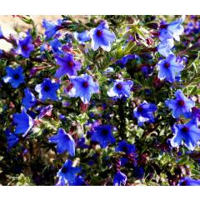 Steinsame Heavenly Blue - Lithodora diffusa