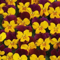Winterveilchen 'Ice Babies Yellow Purple Wing' 9 Stück
