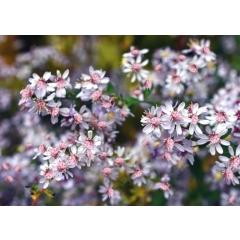 Aster Lady in Black - Aster Lateriflorus
