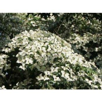 Chinesischer Blumen-Hartriegel 'Weiße...