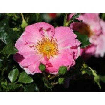 Bodendecker-Rose 'Bienenweide Rosa'...