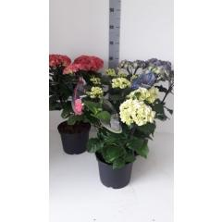 Hortensie Black Steel Light Pink Hydrangea Macrophylla Hellrosa