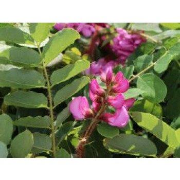 Borstenakazie 'Macrophylla', 60-100...