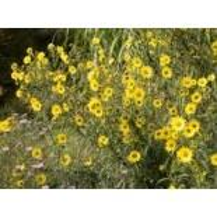 Riesen-Sonnenblume 'Simon Wiesenthal'...