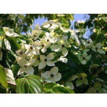 Chinesischer Blumen-Hartriegel 'Teutonia'...