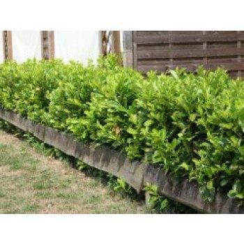 Kirschlorbeer / Lorbeerkirsche 'Rotundifolia'...