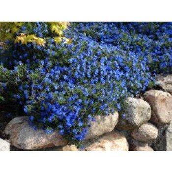 Schein-Steinsame 'Heavenly Blue', Lithodora...