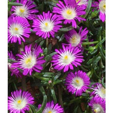 Winterharte Eisblume 'Violett Wonder'