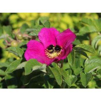 Apfelrose / Kartoffelrose / Hagebutte, 30-40 cm, Rosa rugosa, Containerware