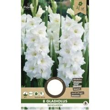 Gladiolen Weià Gladiolus