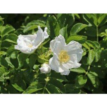 Weiße Apfelrose 'Alba' /- Kartoffelrose /- Hagebutte, 30-40 cm, Rosa rugosa