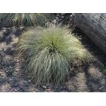 Segge 'Frosted Curls', Carex albula 'Frosted Curls', Topfware