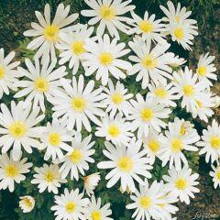 Strahlen-Anemone 'White Splendour' 10 Stück