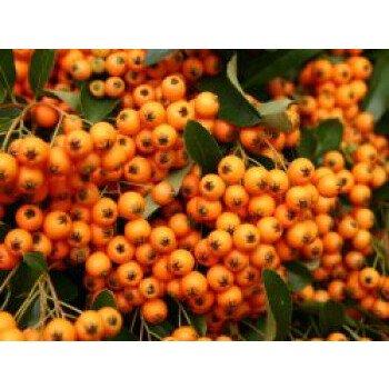 Feuerdorn 'Orange Charmer', 60-80 cm, Pyracantha 'Orange Charmer', Containerware