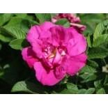 Bodendeckerrose 'Rote Apart', Rosa 'Rote Apart', Wurzelware