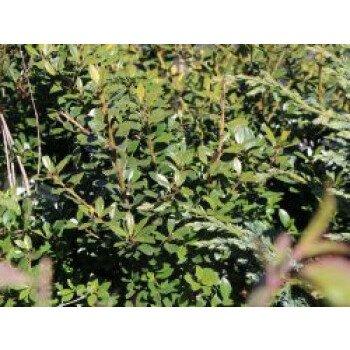 Japan-Stechpalme, 10-15 cm, Ilex crenata, Topfware
