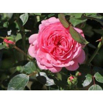 Zwerg-Kletterrose Starlet-Rose 'Eva'...