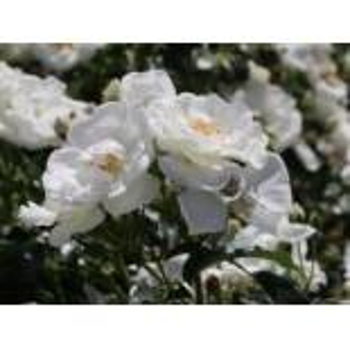 Bodendecker-Rose 'Innocencia' , Rosa 'Innocencia' ADR-Rose, Topfware