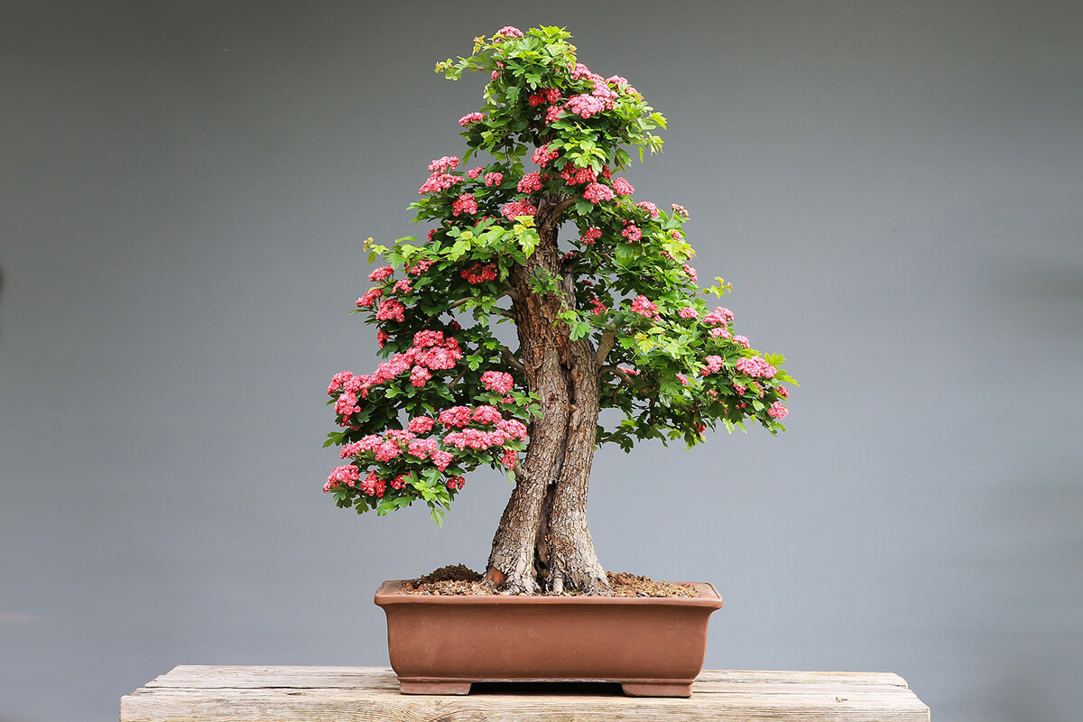 Bonsai als typische Pflanze im Feng Shui