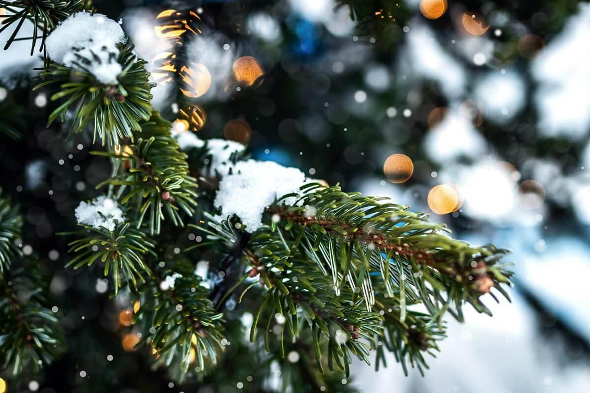 Fichte als Weihnachtsbaum