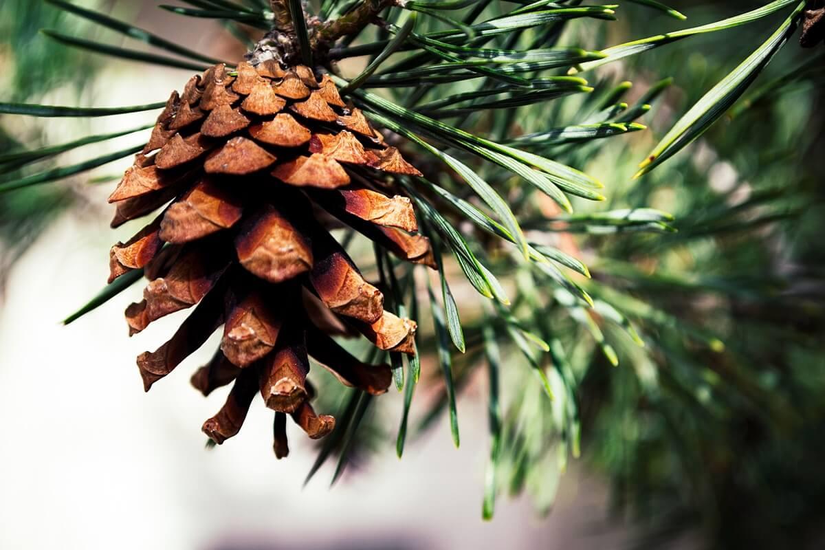 Kiefer als Weihnachtsbaum