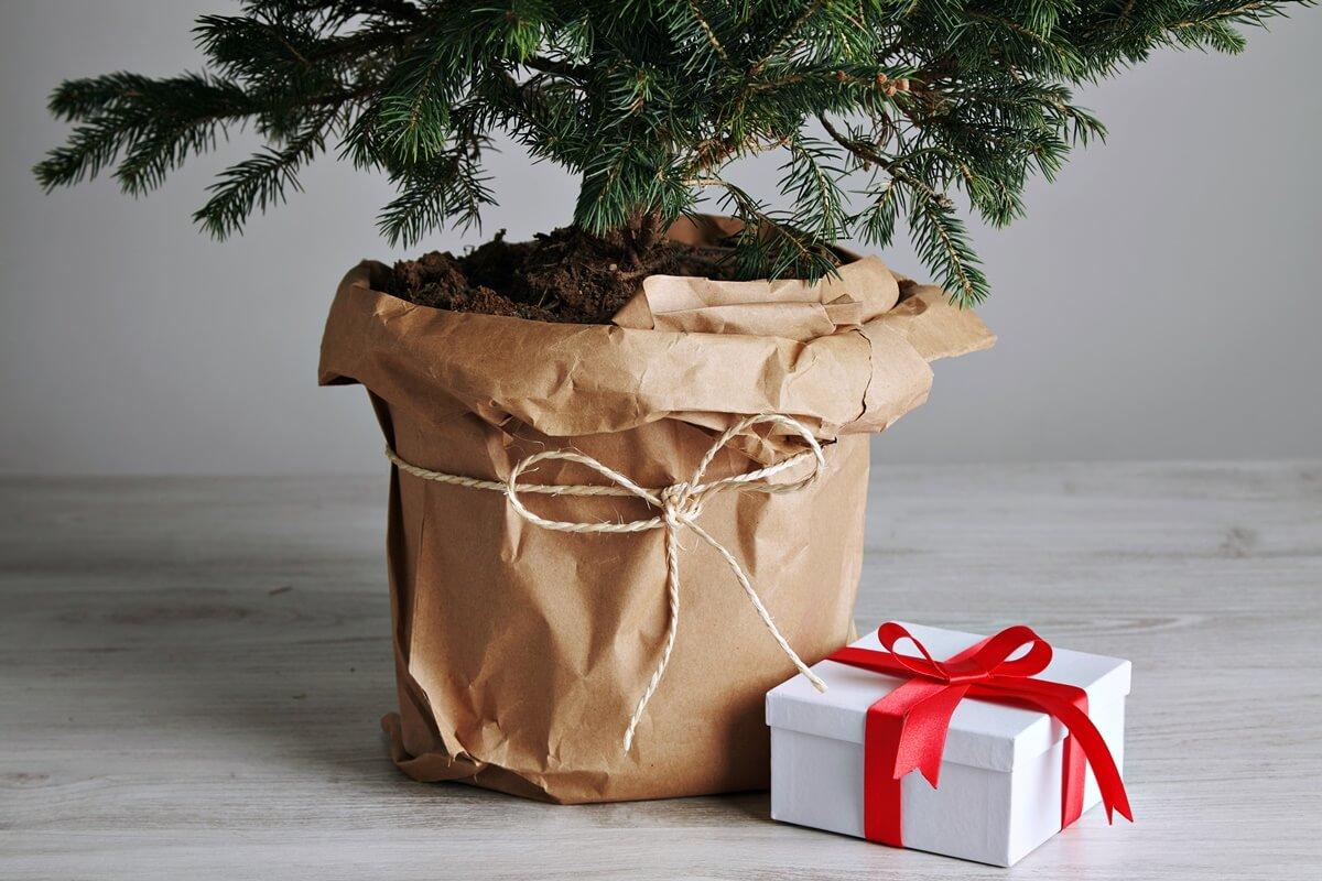 Weihnachtsbaum im Topf halten